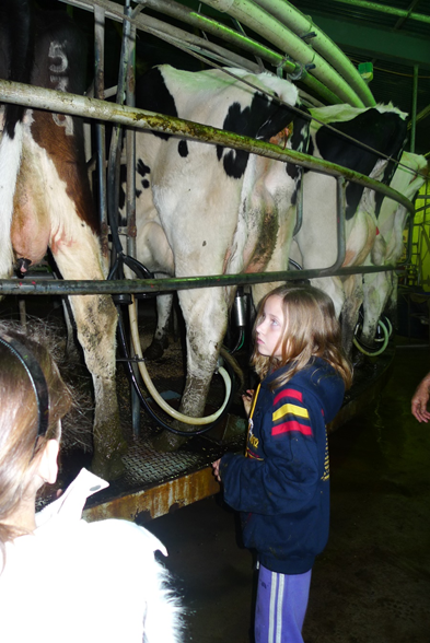 Young Sophia looking at a line of cows being milked. The scene has a lot of metal bars and dirt. The cows are pressed up against the metal bars, packed closely together.